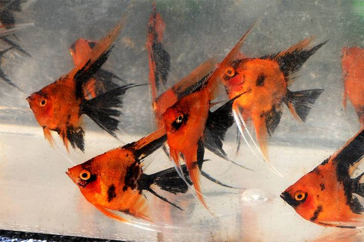 2015 tbas members auction for Expensive koi for sale